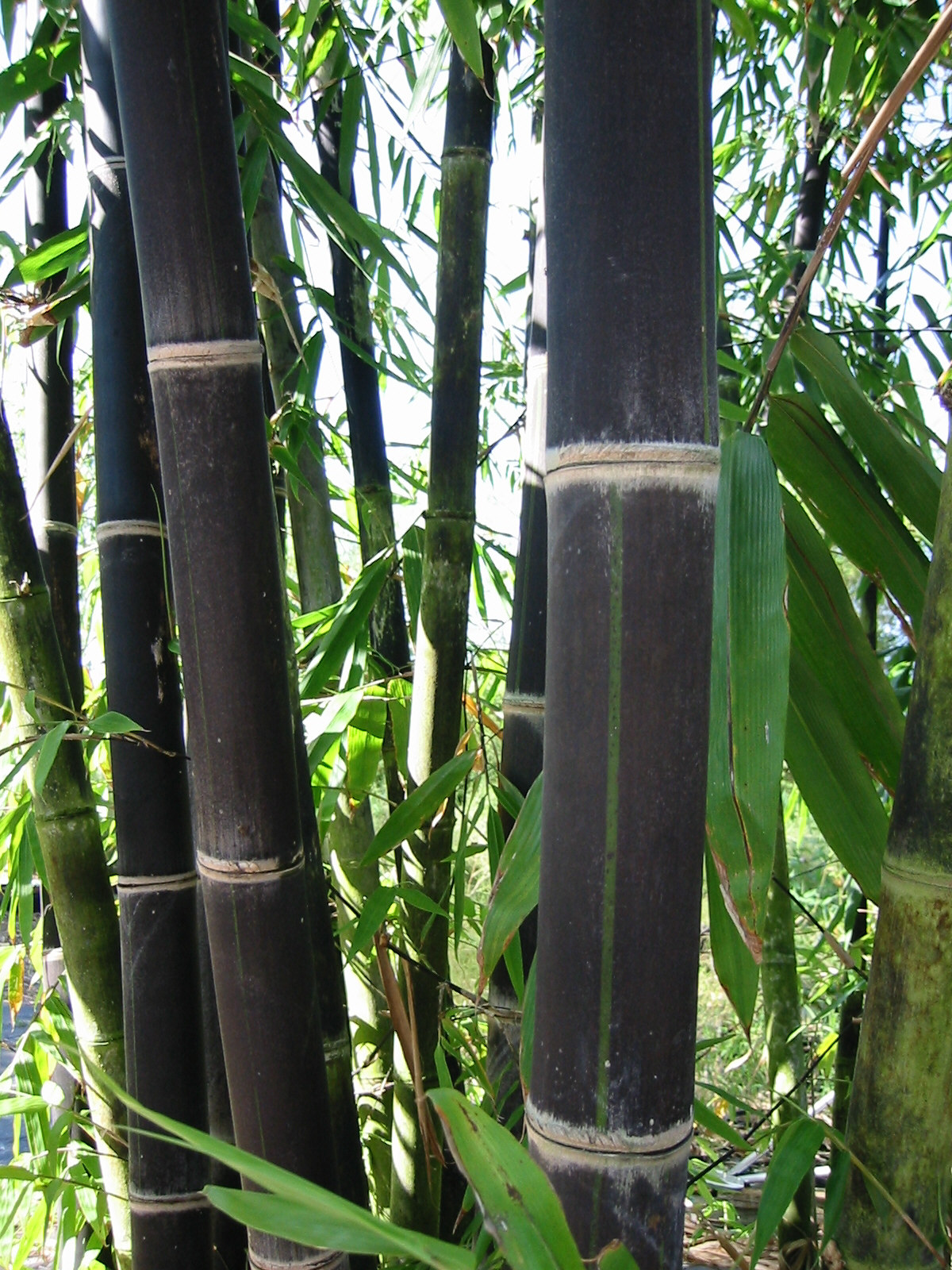 in botany a tree is a plant with an elongated stem essay Botany lab ii stems herbaceous plant stems the stem of a plant is that xylem and phloem found in the trunk of a tree.